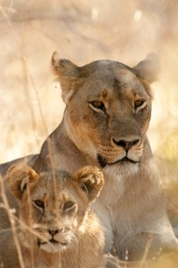 One_of_Cecil_cubs_and_mum_small