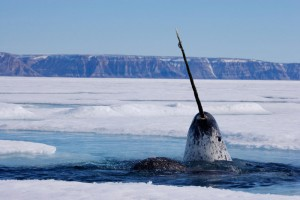 xnarwhal-pictures